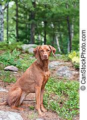 Female Vizsla Dog Sitting in the Woods