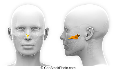 Female Vomer Skull Anatomy - isolated on white