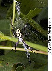 Female Was Spider