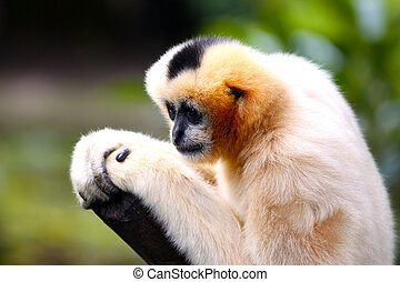 Female White-Cheeked Gibbon with Shallow Depth of Field