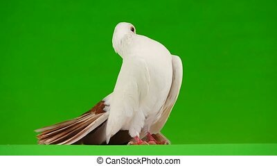Female white dove peacock isolated on a green screen as...