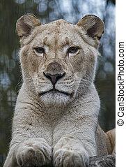 Female white lion