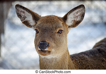 Female white-tailed deer, Odocoileus virginianus
