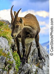 Female wild alpine, capra ibex, or steinbock