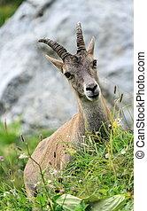 Female wild alpine, capra ibex, or steinbock portrait