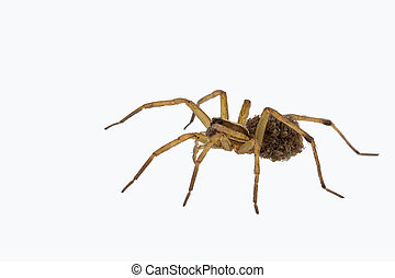 Female wolf spider carrying young