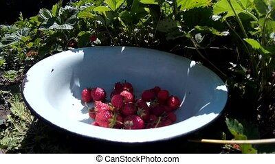 female woman gather pick up ripe red strawberry and put in dish