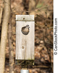 female wood duck in nest box - Female wood duck looking out...