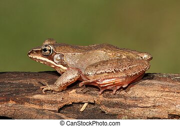 Female Wood Frog (Rana sylvatica)