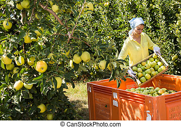 Female worker harvest apples in a big box