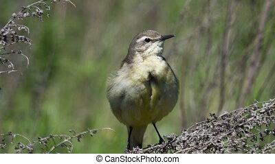 Yellow wagtail - female Yellow wagtail (Wagtail Motacilla...