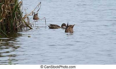 Females Mallard dives in the river in search of food (Anas platyrhynchos)