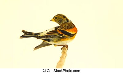 femele Brambling (Fringilla montifringilla) isolated on...