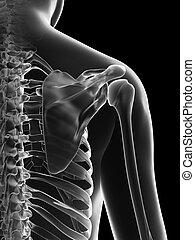 femininas, esqueleto, -, ombro, conjunto