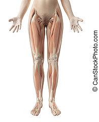 femininas, perna, músculos