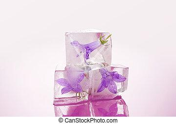 Feminine beauty. Flower blossom frozen in ice cubes isolated...