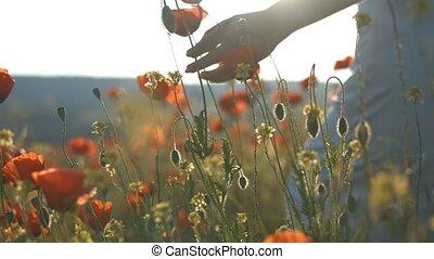 Feminine hand touching flowers in poppy field at sunset