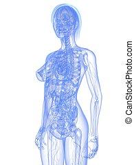 femme, anatomie