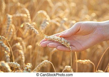 femme, blé, main, eer