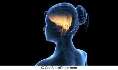 femme, cerveau