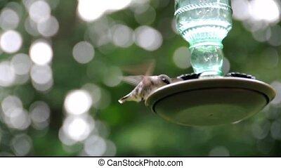 femme, colibri