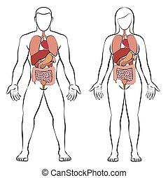femme, couple, interne, région, organes, digestif, homme