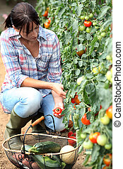 femme, cueillette, tomates