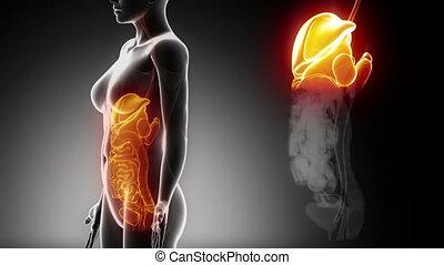 femme, détails, organes, abdominal