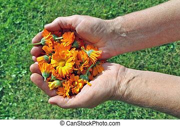 femme, elle, monde médical, mains, personnes agées, tenue, paysan, fleurs, calendula.