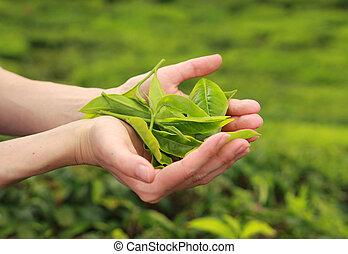 femme, feuilles thé, tenant mains, frais