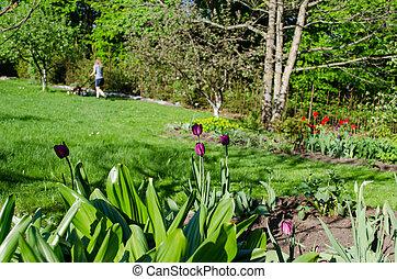 femme, jardin, printemps, tulipe, herbe coupante