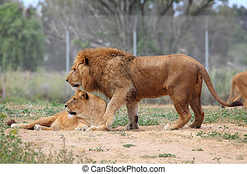 femme, lion mâle