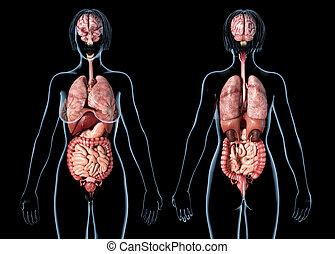 femme, organes, views., anatomie, interne, devant, arrière