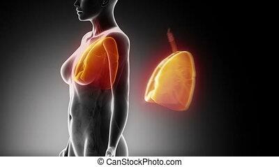 femme, système, respiratoire, anatomie