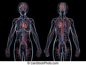 femme, système, views., devant, arrière, cardio-vasculaire