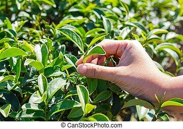 femme, thé, leaf., arracher, main, vert, frais