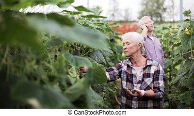 femme, vieux, ferme, haut, concombres, serre, cueillette