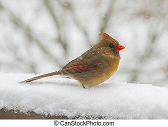 femmina, cardinale