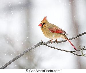 femmina, cardinale, in, il, neve