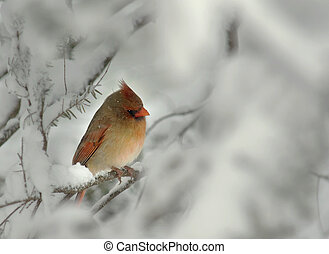 femmina, cardinale, in, inverno, neve