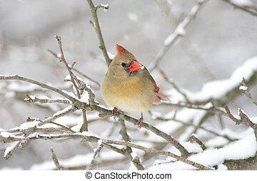femmina, cardinale, in, neve