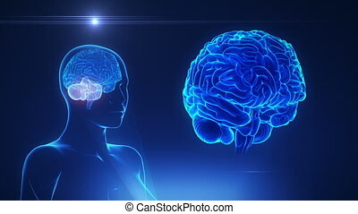 femmina, cervelletto, in, cappio, cervello, concetto