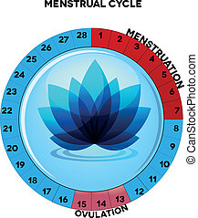 femmina, ciclo mestruale, grafico