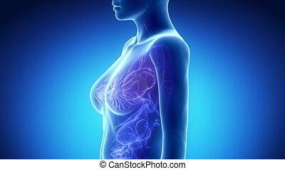 femmina, cuore, anatomia, in, blu