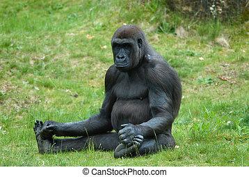 femmina, gorilla