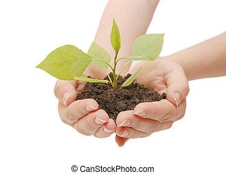 femmina porge, con, uno, pianta, isolato