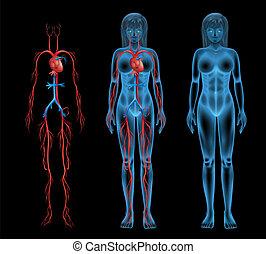 femmina, sistema circolatorio