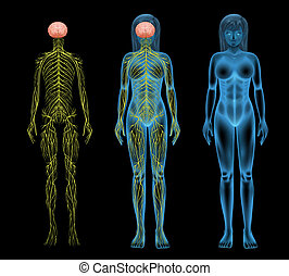 femmina, sistema nervoso