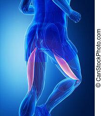 femoris, bizeps, -, koerperbau, menschlicher muskel