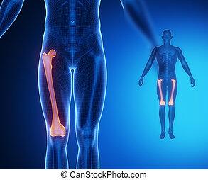 FEMUR bone anatomy x-ray scan